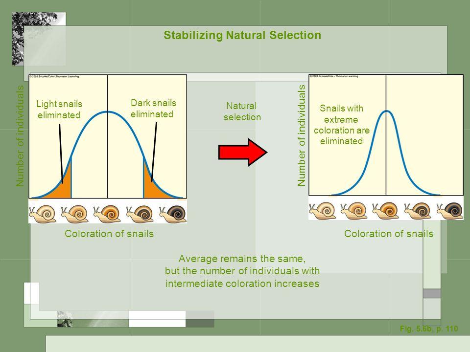 Stabilizing Natural Selection Coloration of snails Light snails eliminated Dark snails eliminated Number of individuals Coloration of snails Snails wi