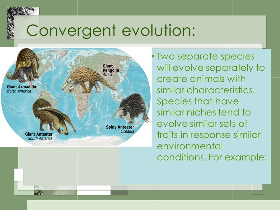 Convergent evolution: Two separate species will evolve separately to create animals with similar characteristics. Species that have similar niches ten
