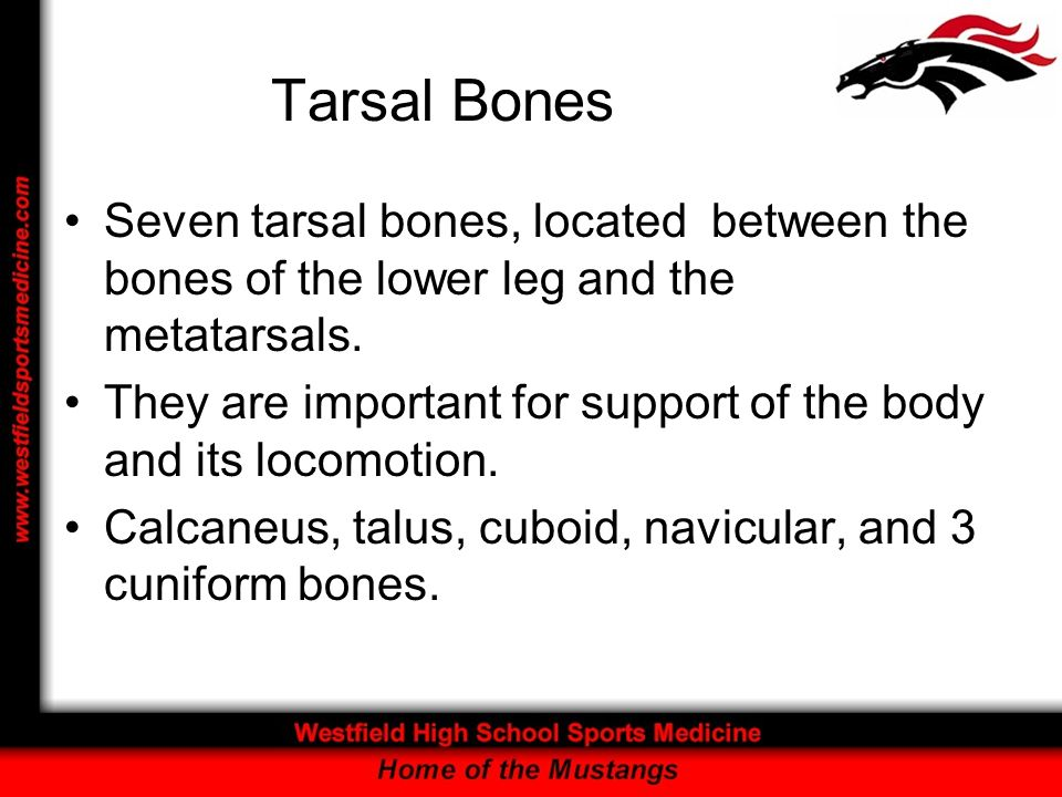 Tarsal Bones Seven tarsal bones, located between the bones of the lower leg and the metatarsals. They are important for support of the body and its lo