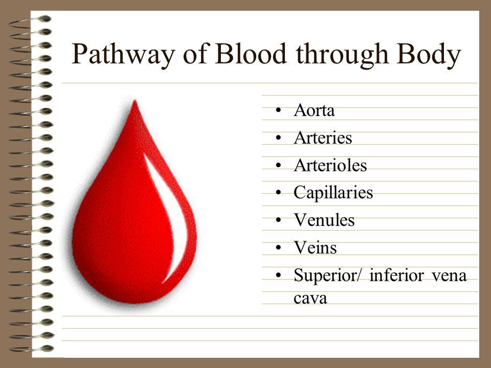 Pathway of Blood through Body Aorta Arteries Arterioles Capillaries Venules Veins Superior/ inferior vena cava