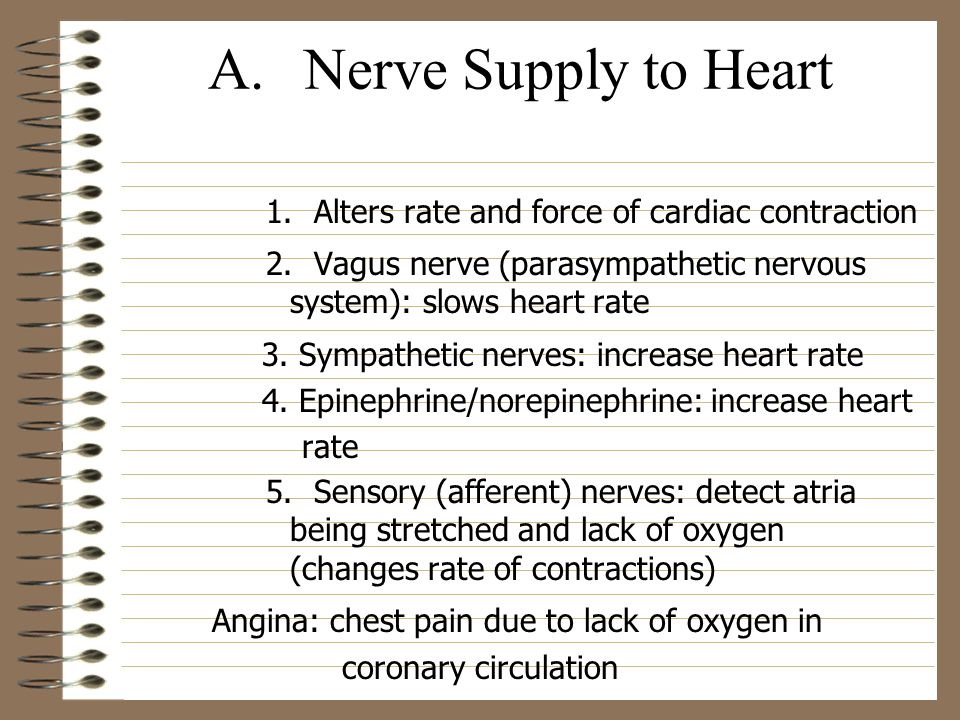 A.Nerve Supply to Heart 1.Alters rate and force of cardiac contraction 2.Vagus nerve (parasympathetic nervous system): slows heart rate 3. Sympathetic