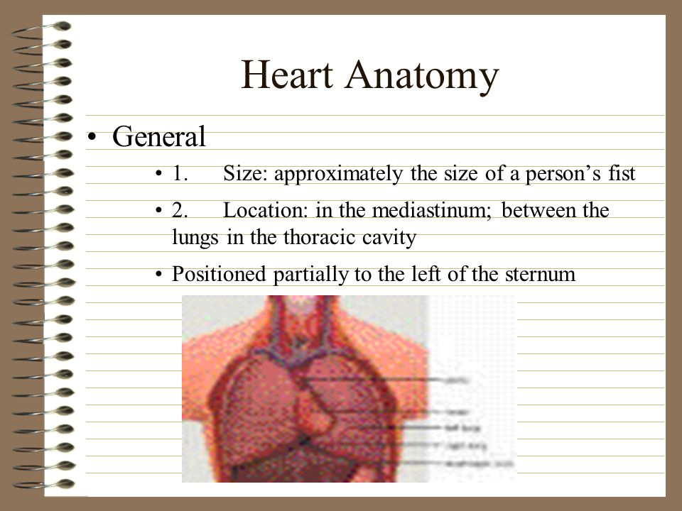 Heart Anatomy General 1.Size: approximately the size of a persons fist 2.Location: in the mediastinum; between the lungs in the thoracic cavity Positi