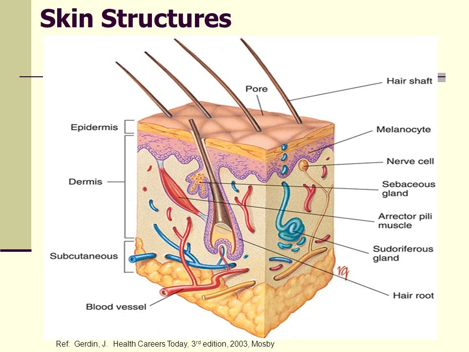 Skin Structures Ref: Gerdin, J. Health Careers Today, 3 rd edition, 2003, Mosby