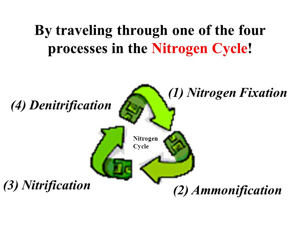 By traveling through one of the four processes in the Nitrogen Cycle! (1) Nitrogen Fixation (3) Nitrification (2) Ammonification (4) Denitrification N