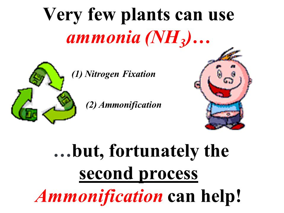 Very few plants can use ammonia (NH 3 )… …but, fortunately the second process Ammonification can help! (1) Nitrogen Fixation (2) Ammonification