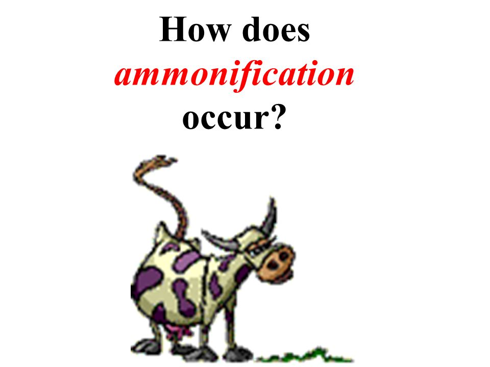 How does ammonification occur?