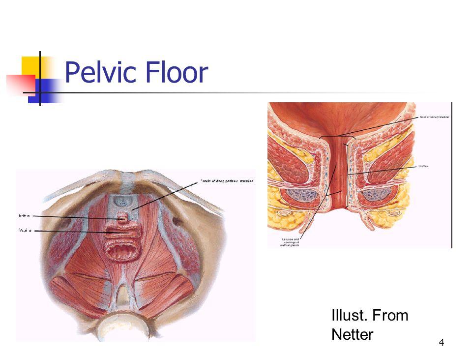 4 Pelvic Floor Illust. From Netter