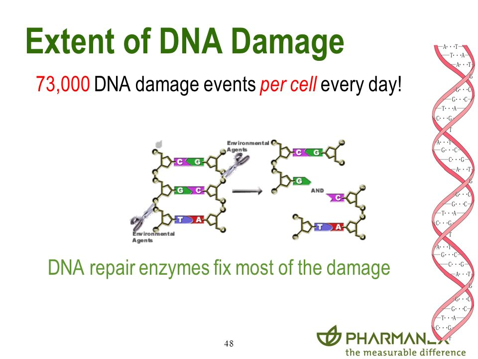 48 Extent of DNA Damage 73,000 DNA damage events per cell every day! DNA repair enzymes fix most of the damage