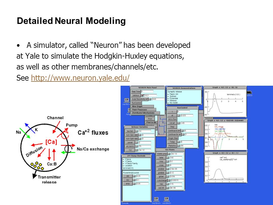 15 Detailed Neural Modeling A simulator, called Neuron has been developed at Yale to simulate the Hodgkin-Huxley equations, as well as other membranes