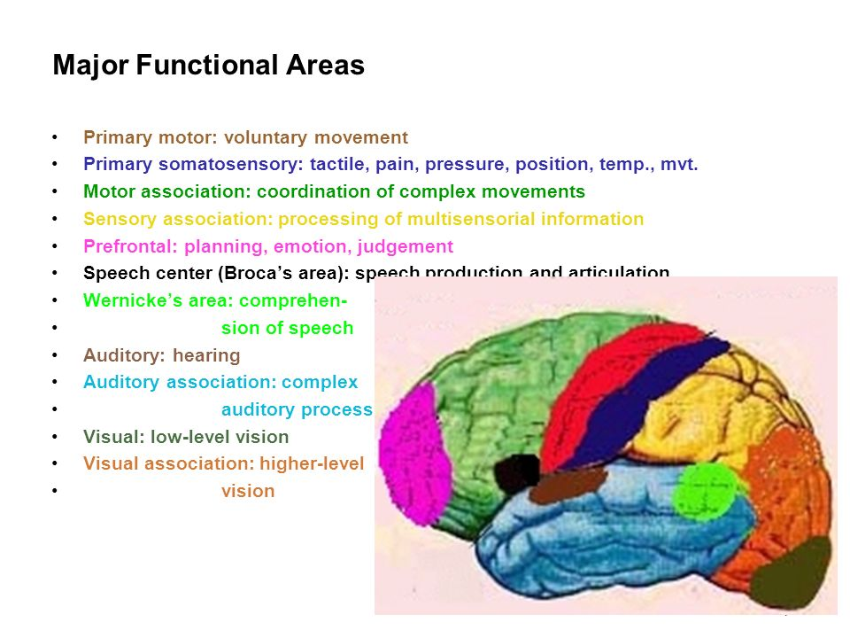 7 Major Functional Areas Primary motor: voluntary movement Primary somatosensory: tactile, pain, pressure, position, temp., mvt. Motor association: co