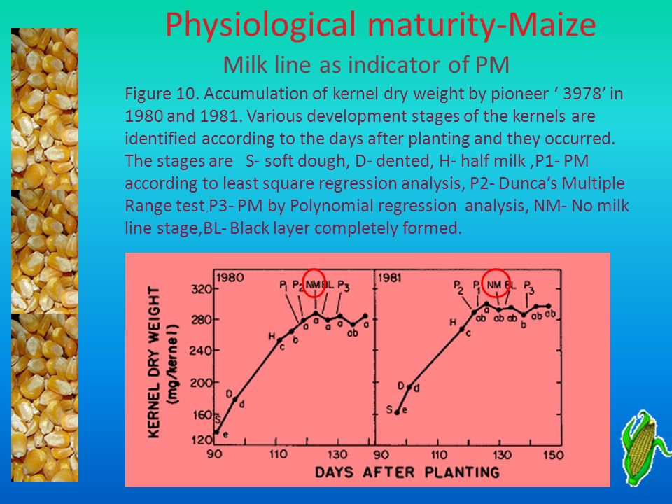 Physiological maturity-Maize Milk line as indicator of PM Figure 10. Accumulation of kernel dry weight by pioneer 3978 in 1980 and 1981. Various devel