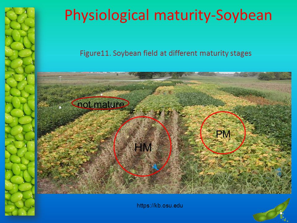 Physiological maturity-Soybean PM HM not mature https://kb.osu.edu Figure11. Soybean field at different maturity stages