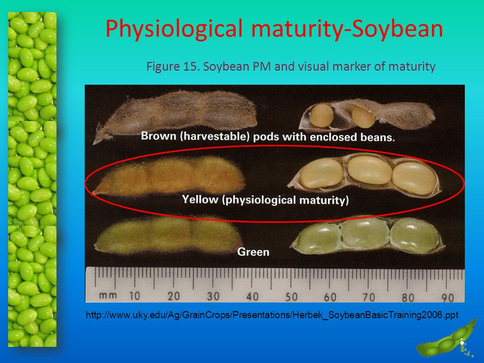 Physiological maturity-Soybean Figure 15. Soybean PM and visual marker of maturity http://www.uky.edu/Ag/GrainCrops/Presentations/Herbek_SoybeanBasicT