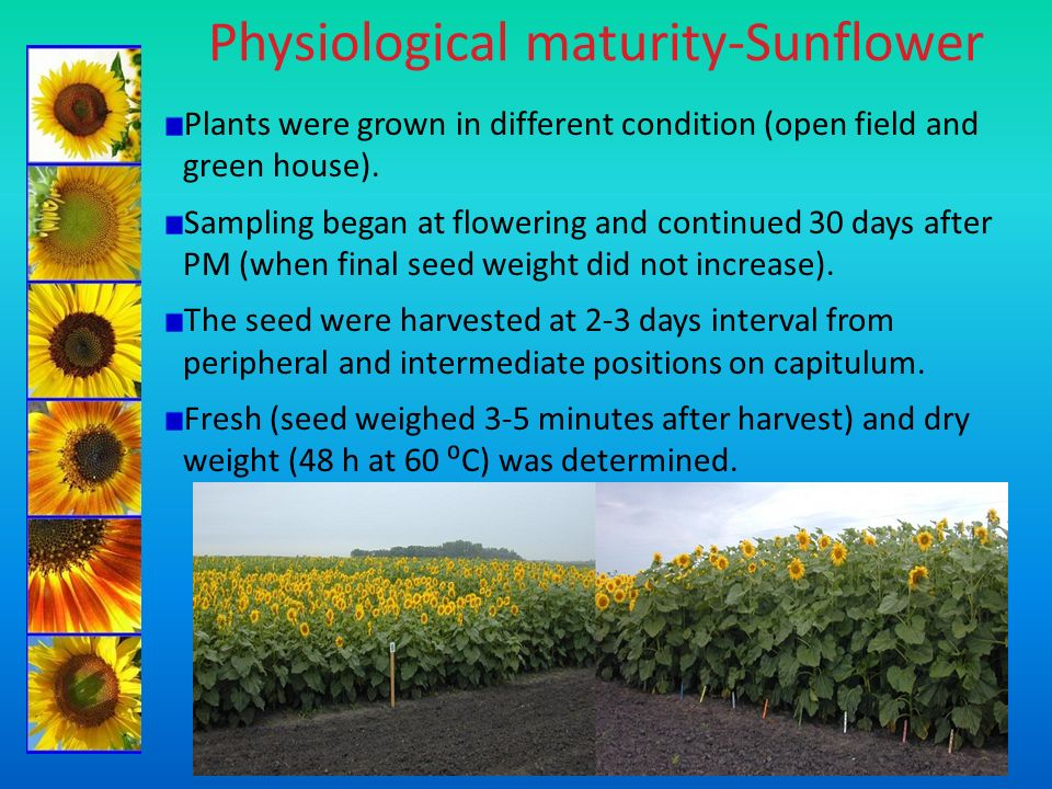 Physiological maturity-Sunflower Plants were grown in different condition (open field and green house). Sampling began at flowering and continued 30 d