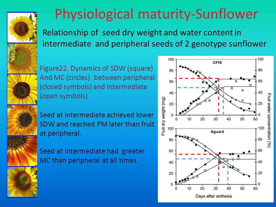 Physiological maturity-Sunflower Relationship of seed dry weight and water content in intermediate and peripheral seeds of 2 genotype sunflower Figure