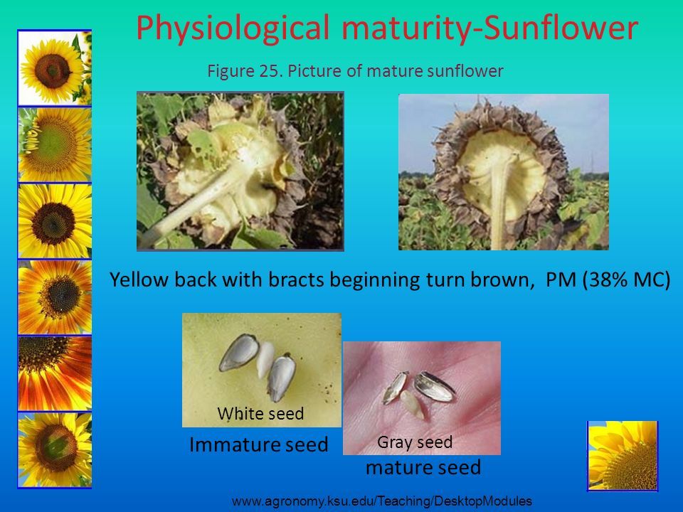 Physiological maturity-Sunflower Yellow back with bracts beginning turn brown, PM (38% MC) White seed Gray seed Immature seed mature seed Figure 25. P