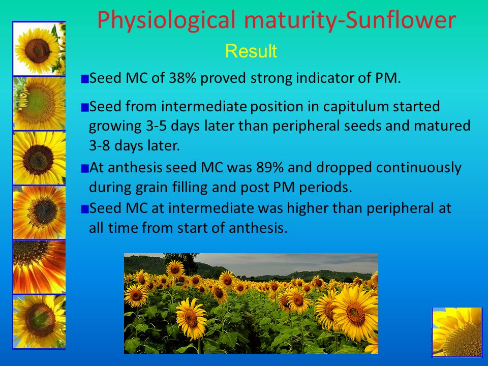 Physiological maturity-Sunflower Result Seed MC of 38% proved strong indicator of PM. Seed from intermediate position in capitulum started growing 3-5