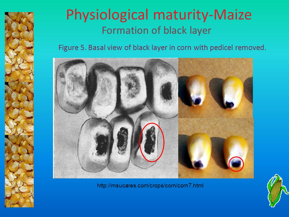 Physiological maturity-Maize Formation of black layer Figure 5. Basal view of black layer in corn with pedicel removed. http://msucares.com/crops/corn