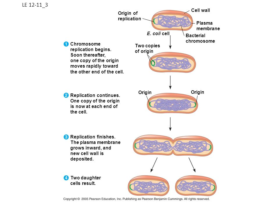 LE 12-11_3 Origin of replication Cell wall Plasma membrane Bacterial chromosome E. coli cell Two copies of origin Chromosome replication begins. Soon