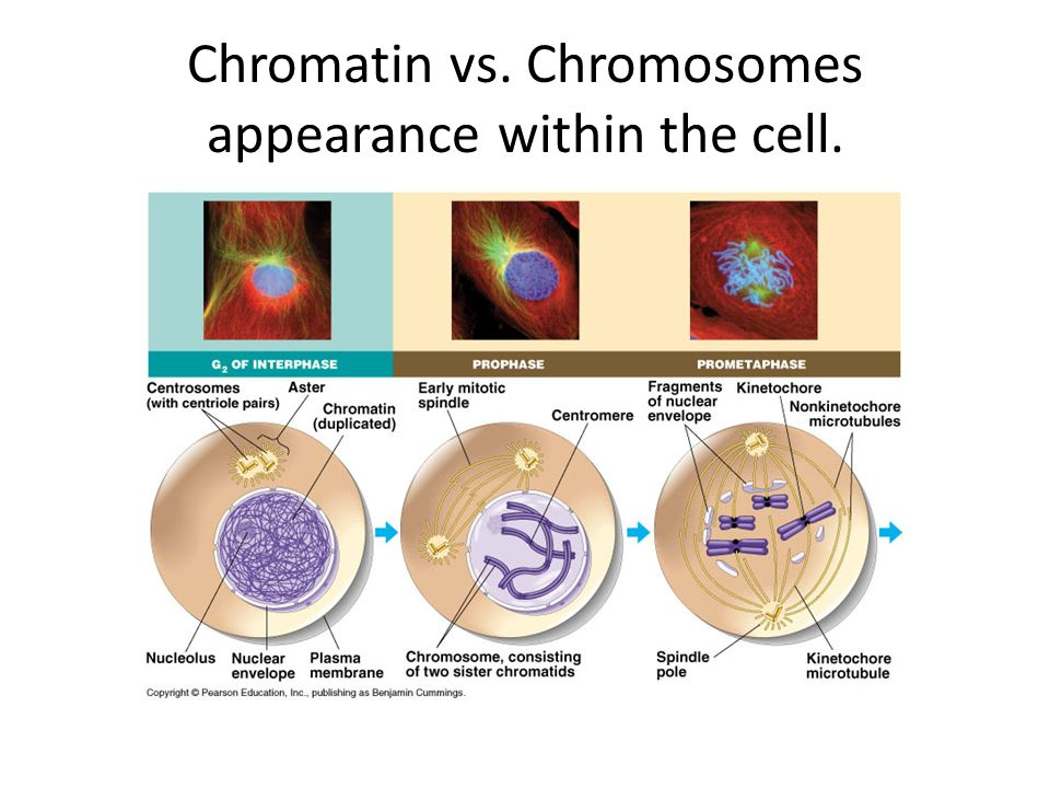 Chromatin vs. Chromosomes appearance within the cell.