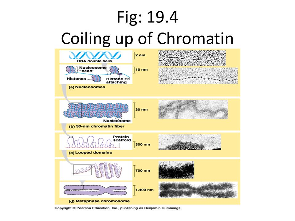 Fig: 19.4 Coiling up of Chromatin