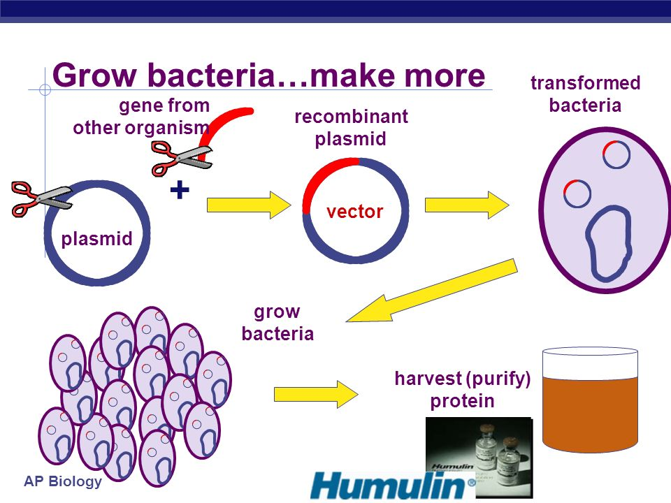 AP Biology Copy (& Read) DNA Transformation insert recombinant plasmid into bacteria grow recombinant bacteria in agar cultures bacteria make lots of