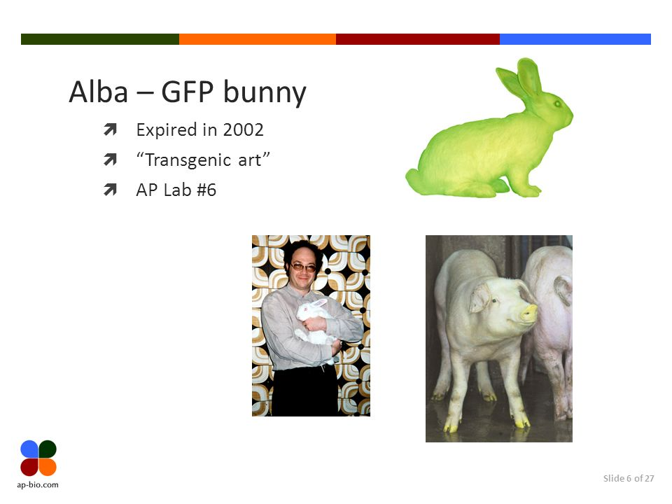 Slide 6 of 27 Alba – GFP bunny Expired in 2002 Transgenic art AP Lab #6