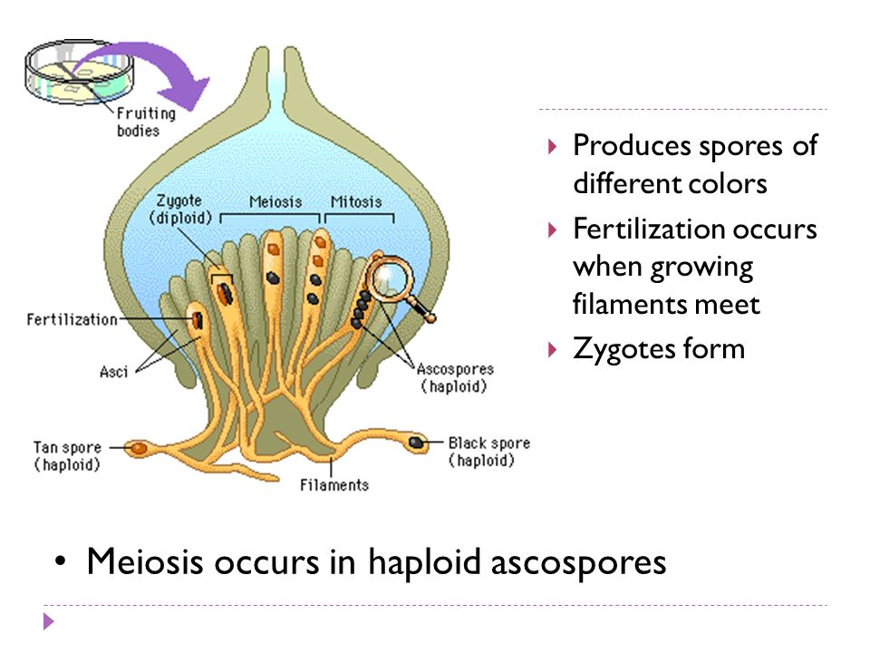 Produces spores of different colors Fertilization occurs when growing filaments meet Zygotes form Meiosis occurs in haploid ascospores