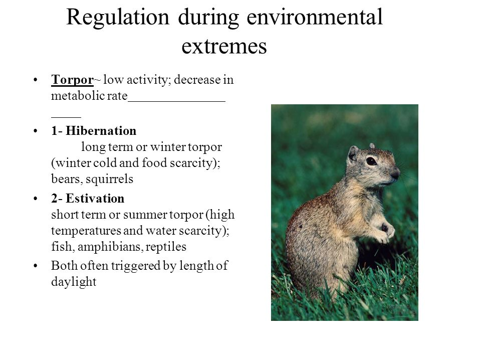 Regulation during environmental extremes Torpor~ low activity; decrease in metabolic rate 1- Hibernation long term or winter torpor (winter cold and f