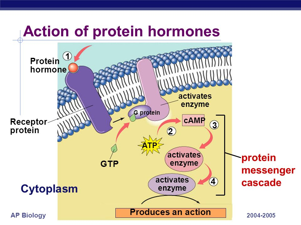 AP Biology 2004-2005 Action of protein hormones 3 4 GTP activates enzyme activates enzyme activates enzyme Receptor protein cAMP Protein hormone ATP 1