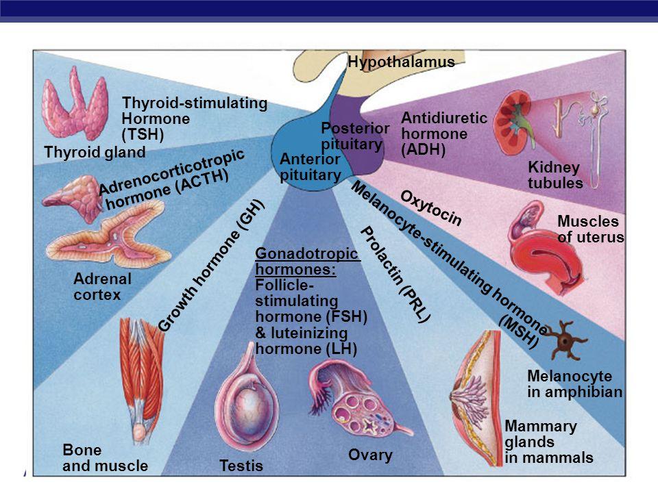 AP Biology 2004-2005 Thyroid gland Hypothalamus Anterior pituitary Gonadotropic hormones: Follicle- stimulating hormone (FSH) & luteinizing hormone (L