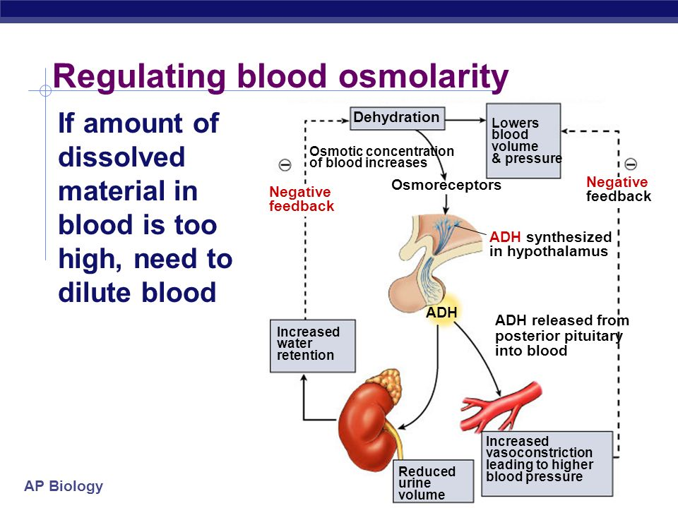 AP Biology 2004-2005 Regulating blood osmolarity If amount of dissolved material in blood is too high, need to dilute blood ADH Dehydration Lowers blo