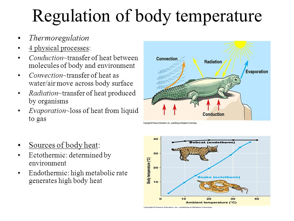 Regulation of body temperature Thermoregulation 4 physical processes: Conduction~transfer of heat between molecules of body and environment Convection