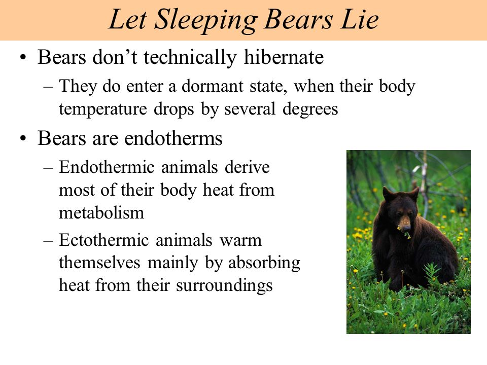Bears dont technically hibernate –They do enter a dormant state, when their body temperature drops by several degrees Bears are endotherms –Endothermi