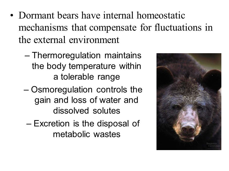 Dormant bears have internal homeostatic mechanisms that compensate for fluctuations in the external environment –Thermoregulation maintains the body t