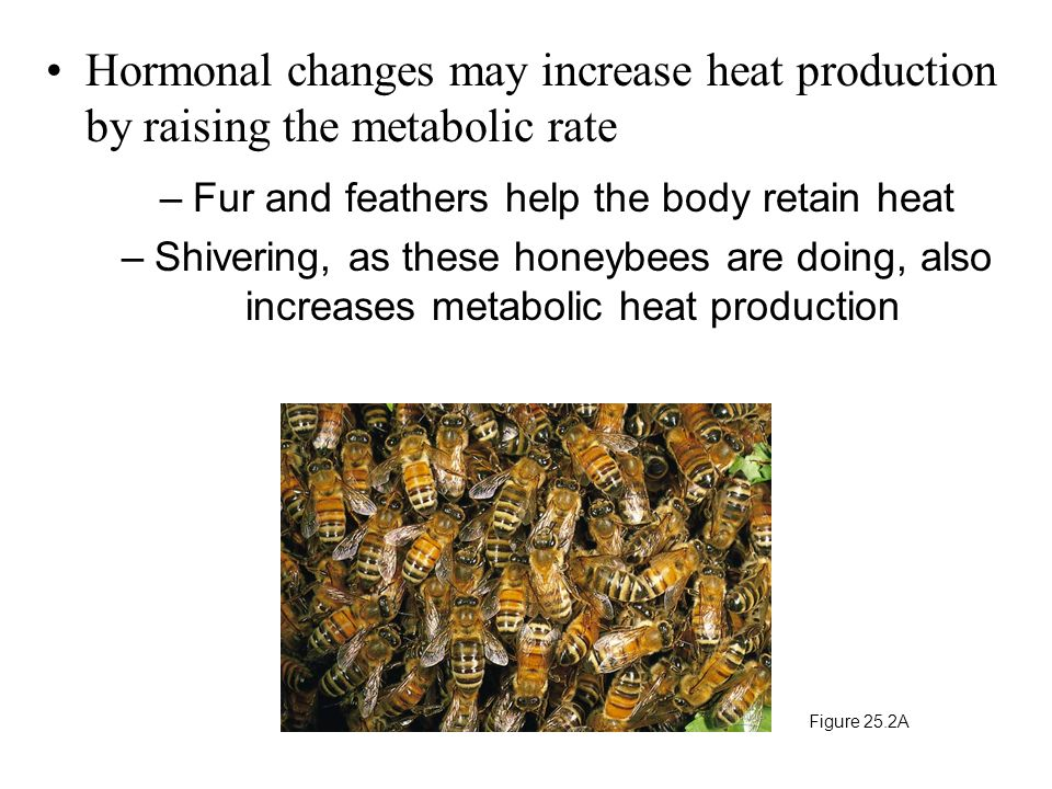 Hormonal changes may increase heat production by raising the metabolic rate –Fur and feathers help the body retain heat –Shivering, as these honeybees