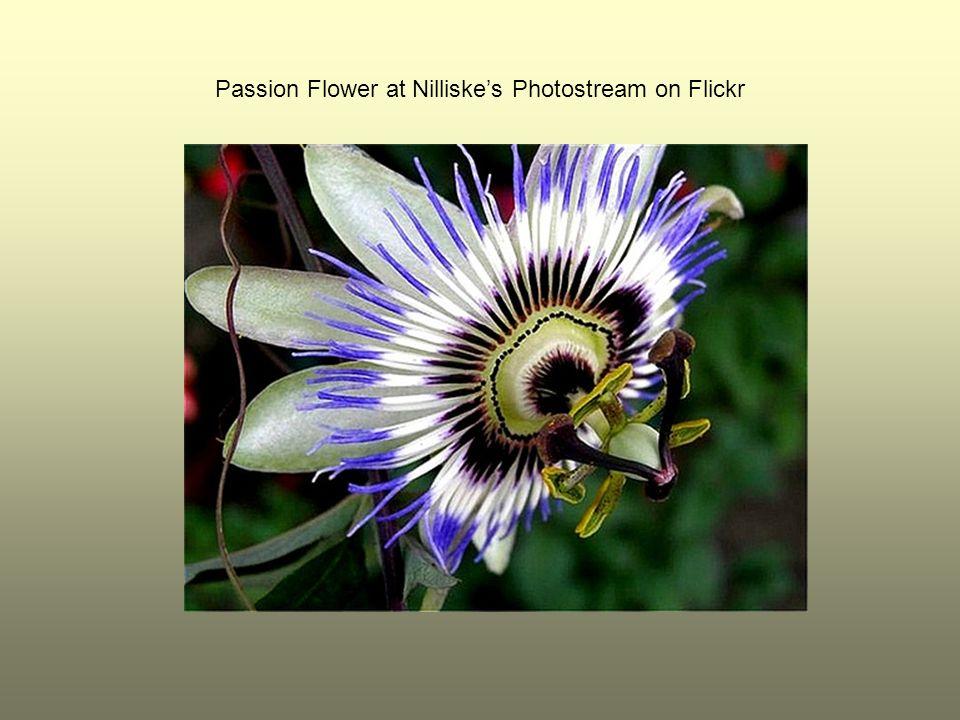 Passion Flower at Nilliskes Photostream on Flickr