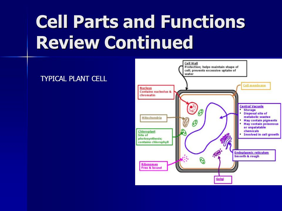 Cell Parts and Functions Review Continued TYPICAL PLANT CELL