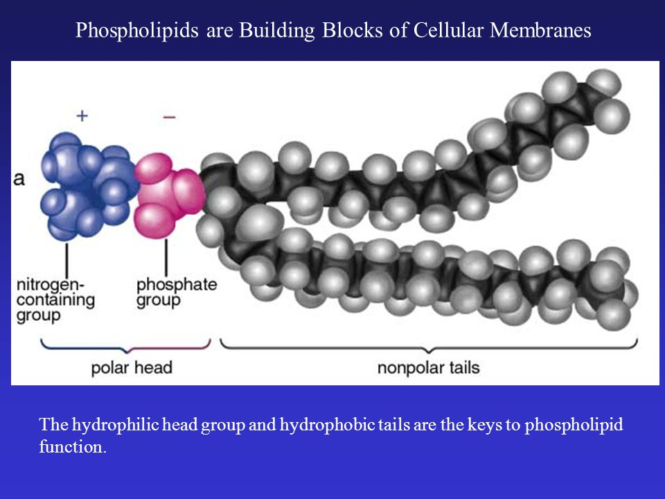 Phospholipids are Building Blocks of Cellular Membranes The hydrophilic head group and hydrophobic tails are the keys to phospholipid function.