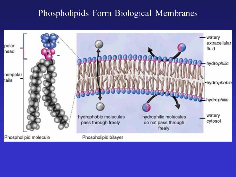 Phospholipids Form Biological Membranes