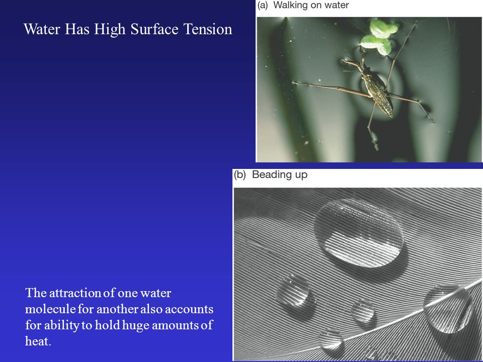 Water Has High Surface Tension The attraction of one water molecule for another also accounts for ability to hold huge amounts of heat.