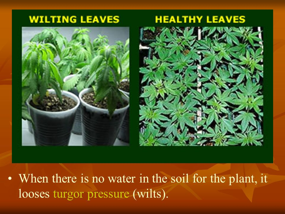 When there is no water in the soil for the plant, it looses turgor pressure (wilts).