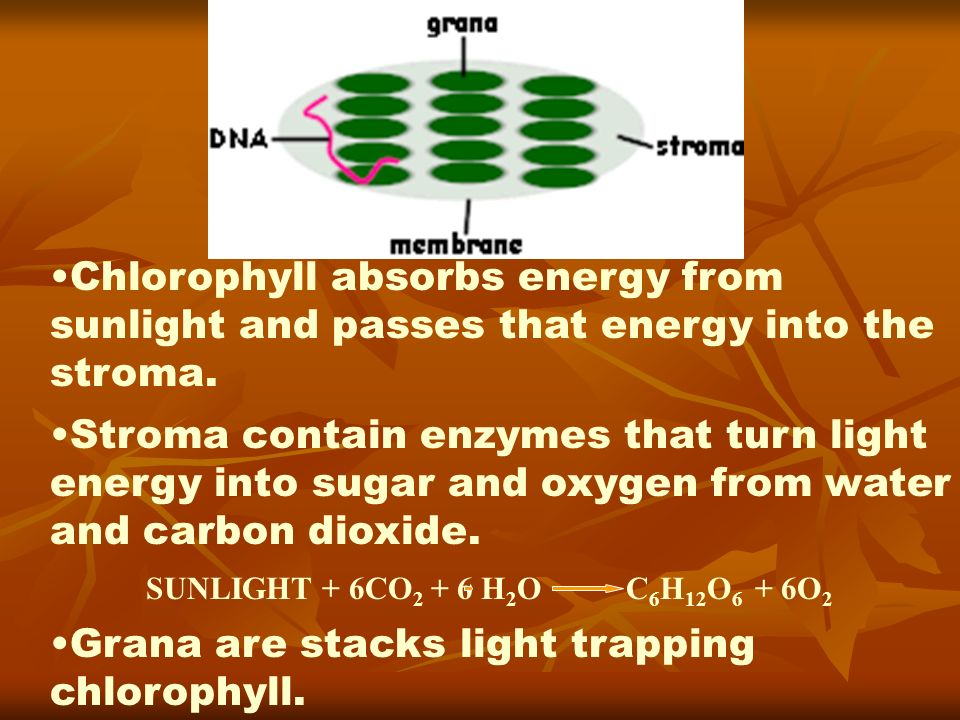 Chlorophyll absorbs energy from sunlight and passes that energy into the stroma. Stroma contain enzymes that turn light energy into sugar and oxygen f