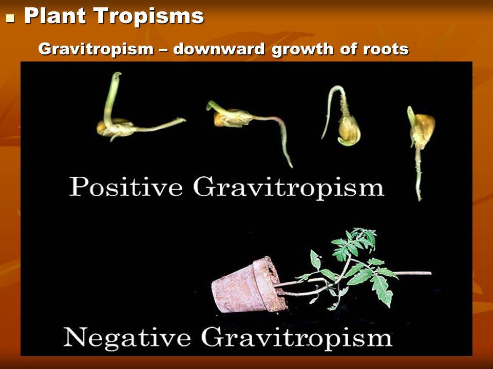 Plant Tropisms Plant Tropisms Gravitropism – downward growth of roots Gravitropism – downward growth of roots