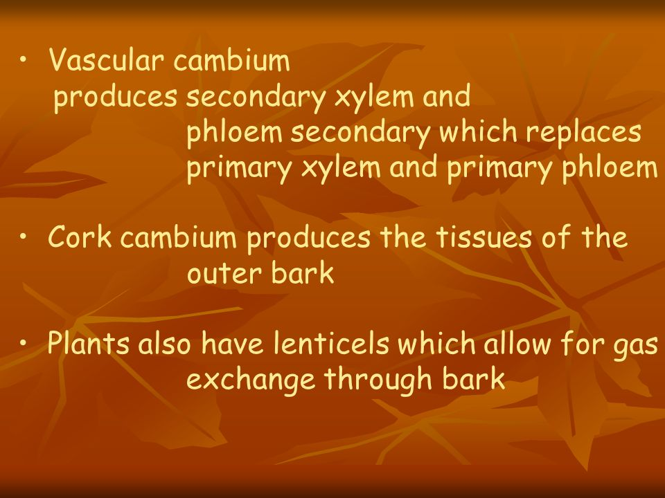 Vascular cambium produces secondary xylem and phloem secondary which replaces primary xylem and primary phloem Cork cambium produces the tissues of th