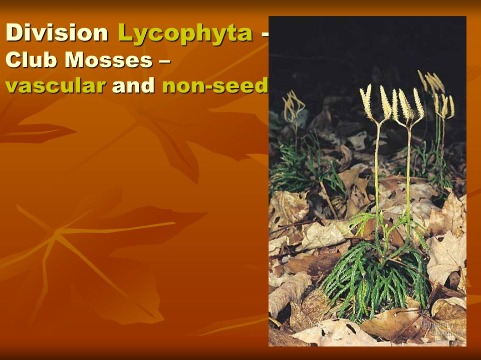 Division Lycophyta - Club Mosses – vascular and non-seed.