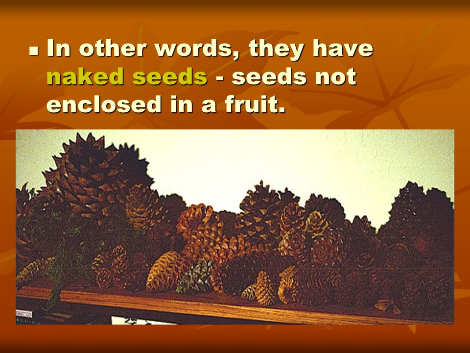 In other words, they have naked seeds - seeds not enclosed in a fruit. In other words, they have naked seeds - seeds not enclosed in a fruit.