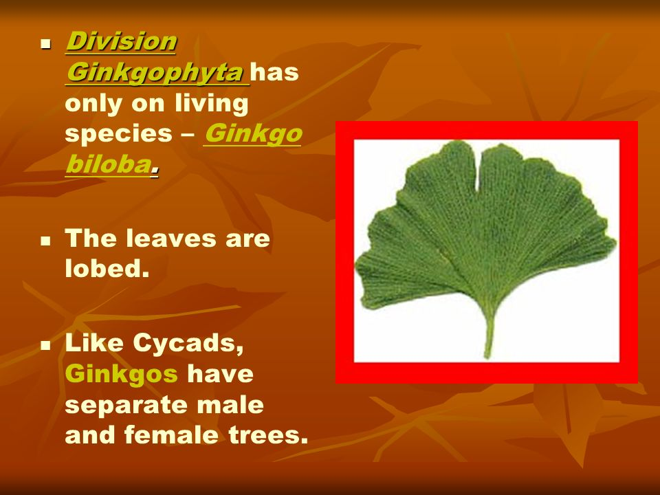 Division Ginkgophyta. Division Ginkgophyta has only on living species – Ginkgo biloba. The leaves are lobed. Like Cycads, Ginkgos have separate male a