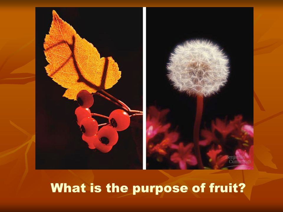 What is the purpose of fruit?