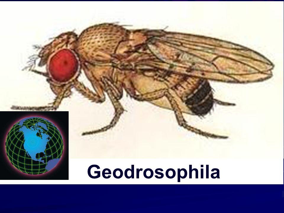 Geodrosophila